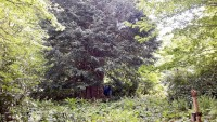 واحدة-من-5-في-العالم..-شجرة-بتركيا-عمرها-4112-عاما