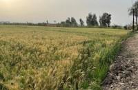 مصر-ترفع-سعر-شراء-القمح-المحلي..-هل-يناسب-الفلاحين؟