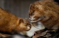 حيوانات-القنادس-تقلل-من-تلوث-الأنهار