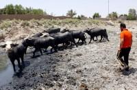 بعد-الزراعة..-الجفاف-يطال-الحيوانات-وتحذير-من-هجرة-بالعراق