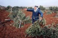 مستوطنون-يقطعون-عشرات-أشجار-الزيتون-المعمرة-بنابلس