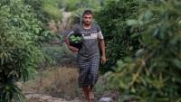 الأفوكادو-في-غزة-زراعة-ناشئة-تشق-الصعاب